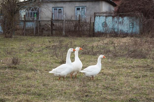 흰 거위 세 마리가 목초지를 걷고있다.