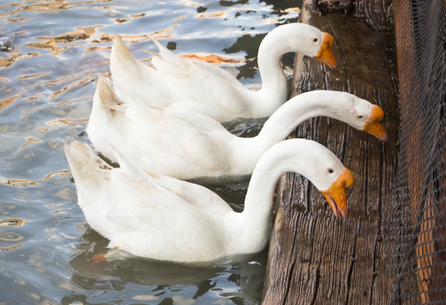 Three white goose