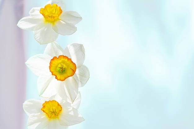 Three white narcissus flowers vertically arranged