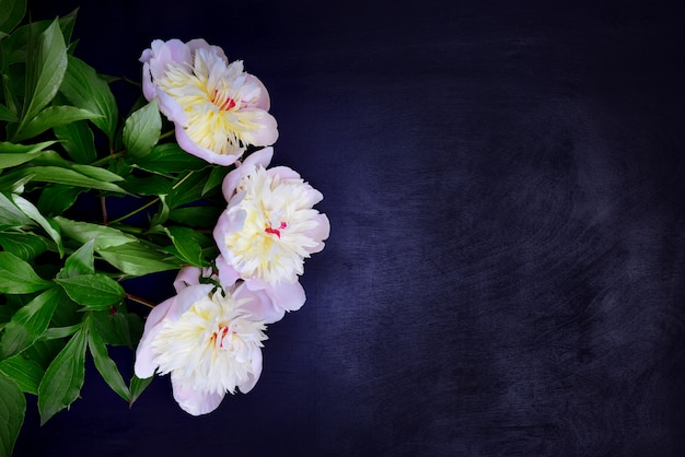 Three white peonies on a black background