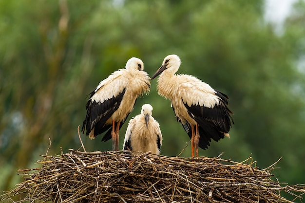Three white stork chicks standing on nest and waiting in summer nature