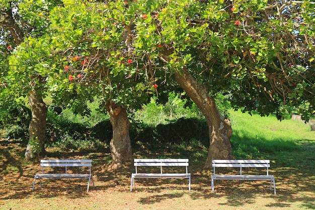 Three white wooden benches under the flowering tree in the sunlight of easter island, chile