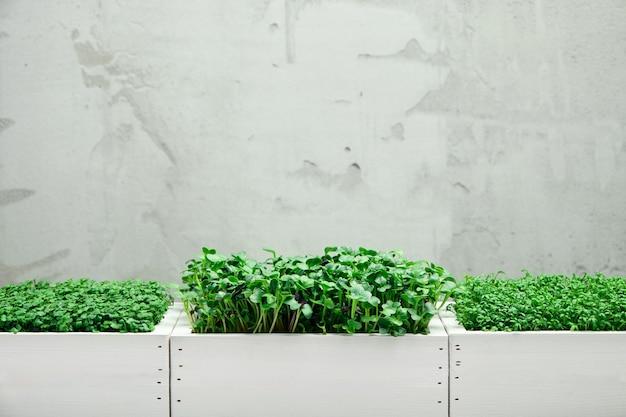 마이크로그린이 있는 흰색 나무 상자 3개. 가정 정원 가꾸기와 실내 녹지 재배의 개념