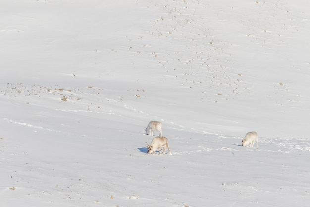 Three wild svalbard reindeer, rangifer tarandus platyrhynchus, searching for food in the snow at the tundra in svalbard, norway.