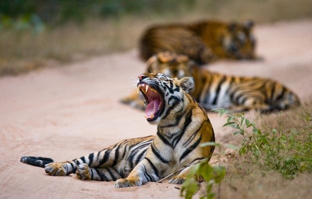 정글에서 세 야생 호랑이. 인도.