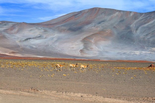 Three of wild vicuna at the foothills of chilean andes, northern chile