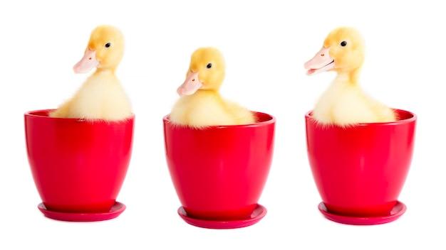 격리 된 배경에 빨간색 점토 냄비에 세 노란색 Ducklings. 프리미엄 사진