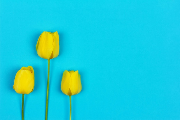 Three yellow tulips on a blue background with copy space
