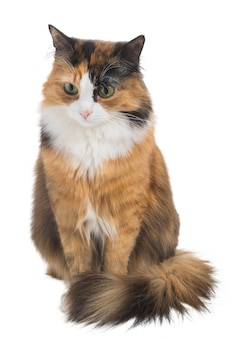 Threecolored motley young cat on an isolated white background studio lighting