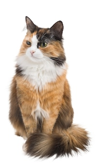 Threecolored motley young cat on an isolated white background
