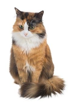 격리 된 흰색 배경 스튜디오 조명에 3 색 가지각색의 젊은 고양이