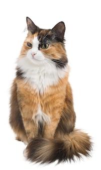 격리 된 흰색 배경에 3 색 가지각색의 젊은 고양이