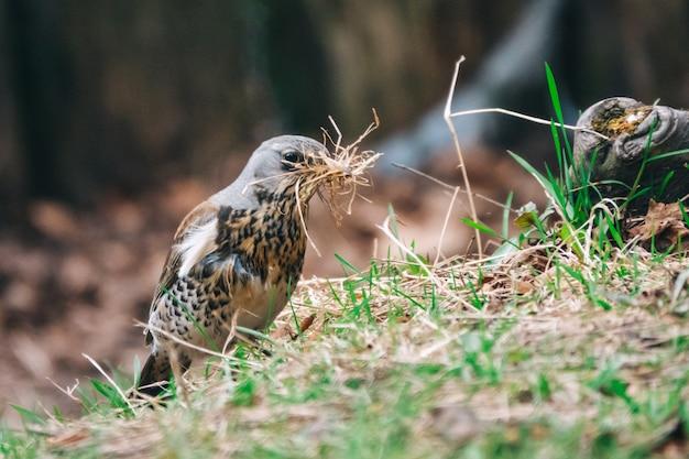 Дрозд собирает сухую траву для гнезда