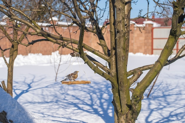 Дрозд на кормушке зимой, крупным планом, украина