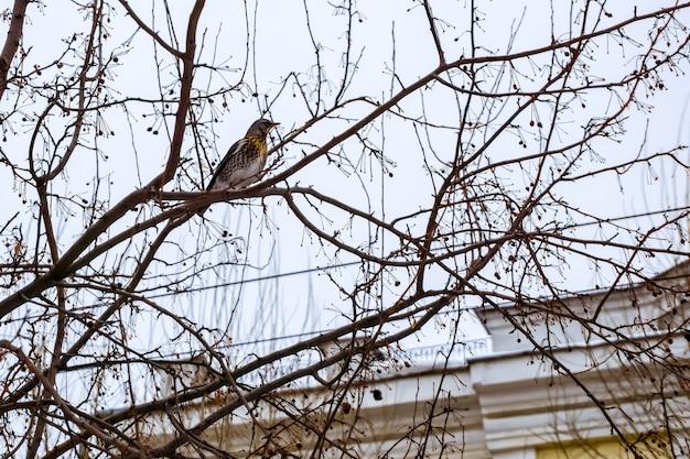 曇り空を背景に街の冬の木の枝にノハラツグミ