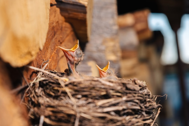Thrush nest. bird's nest in the woodshed. newborn chicks blackbird. hungry chicks look up and open their beaks and cry.