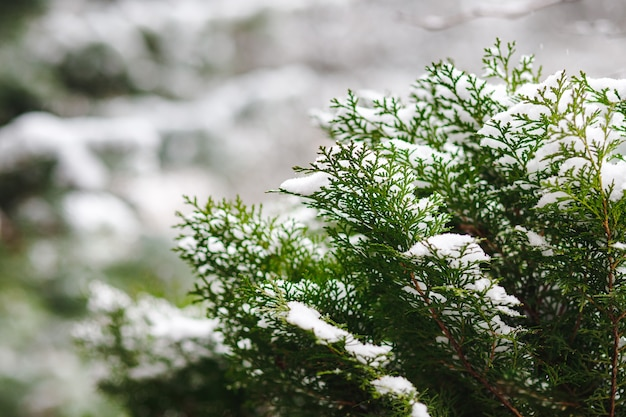 Thuja bushes are sprinkled with snow in winter