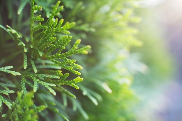 A thuja close up the thuja branch background