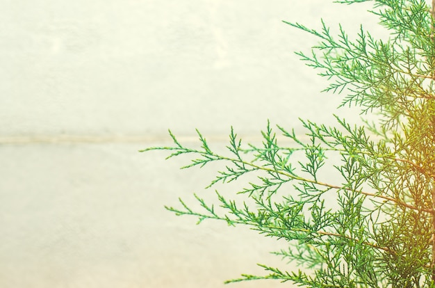Thuja  on a gray background