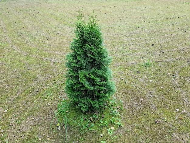 Thuja is a genus of gymnosperm coniferous plants of the cypress family cupressaceae