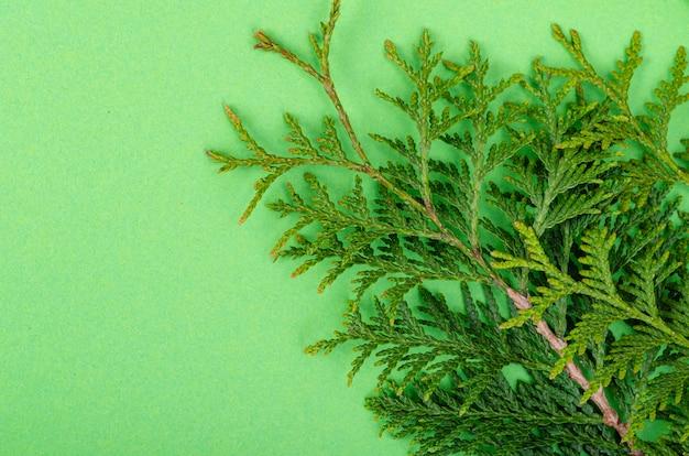 밝은 녹색 배경 스튜디오 사진에 thuja occidentalis 지점