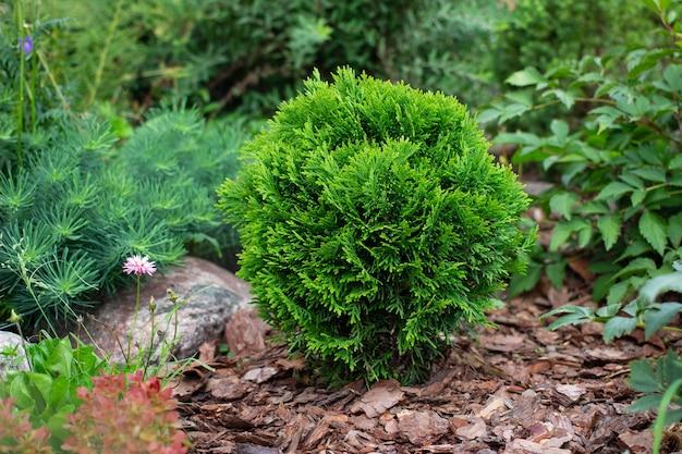 Thuja occidentalis danica aurea cultivar in garden flowerbed with decorative landscape pine bark mulch