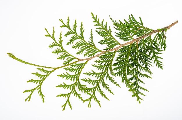 Thuja occidentalis 녹색 분기 흰색 배경에 고립입니다. 스튜디오 사진.