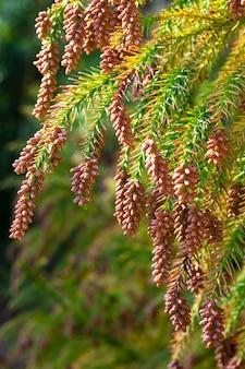 Туя западная - вечнозеленое хвойное дерево из семейства кипарисовых cupressaceae. шишка на ветке. цветение. крупным планом весна в лесу