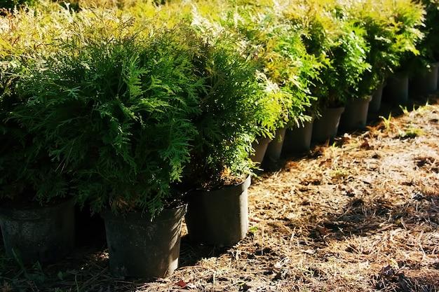 Thujaoccidentalis庭の植物と植木鉢の列