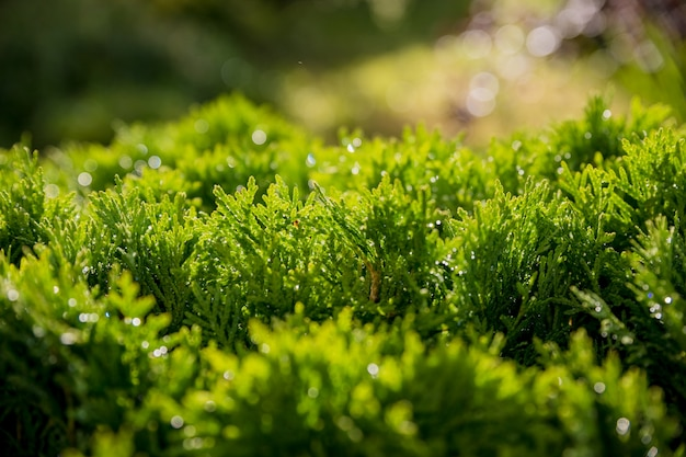 Thujaの木の緑のクリスマスの葉のクローズアップ。自然の背景や壁紙のテクスチャ。緑thuja occidentalis columnaテクスチャマクロ。常緑針葉樹、中国ツヤ