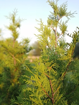 Thuja western brabant. branches illuminated by the sun.
