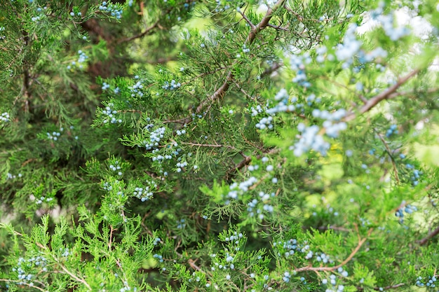 グリーンthujaまたはジュニパーの木の枝wis果実の背景をクローズアップ