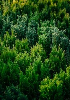 Thuja庭の常緑針葉樹植物