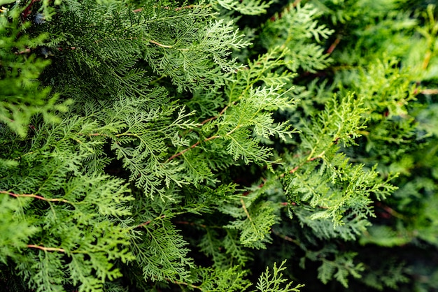 Thujaの木の緑のクリスマスの葉