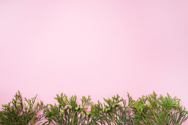 コピースペースとピンクの背景にthujaを分岐します。
