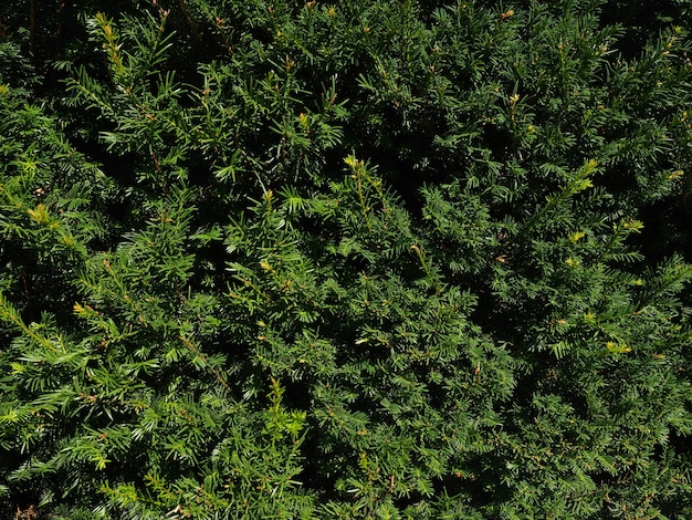 Thujaツリーの背景の枝。緑の自然の自然な背景