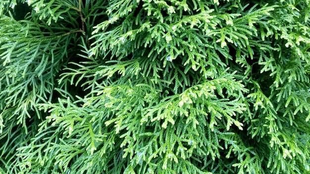針葉樹のテクスチャ、thuja葉クローズアップ緑の自然水平写真