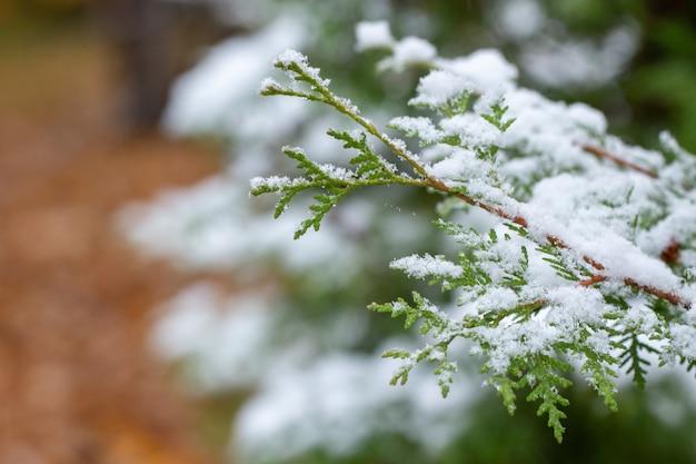 秋の日。雪の中でthujaの枝。初雪。ぼやけています。季節の変化。