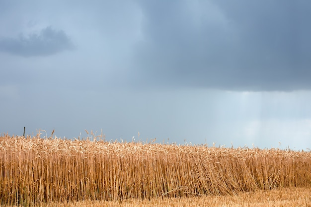 The thunderstorm threatens to destroy the sown wheat on the field