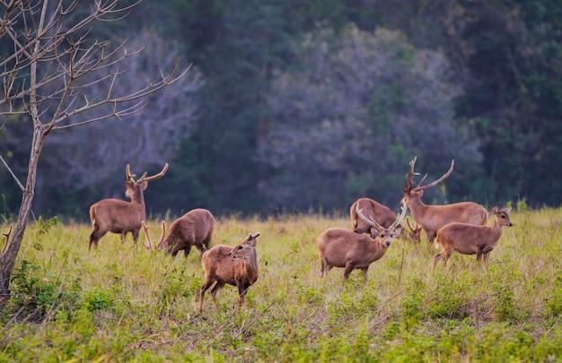 Thung kramangチャヤプーム県、タイで家族サンセット鹿