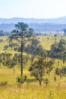 Thung salaeng luang national park. savannah field and pine tree. northern of thailand