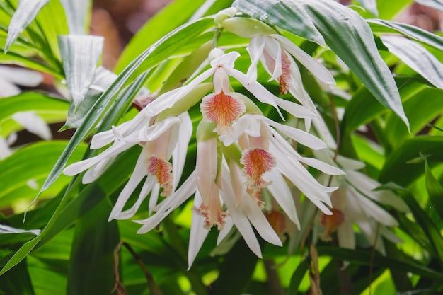Цветок орхидей thunia alba крупным планом в природе красивые белые орхидеи в ботаническом саду