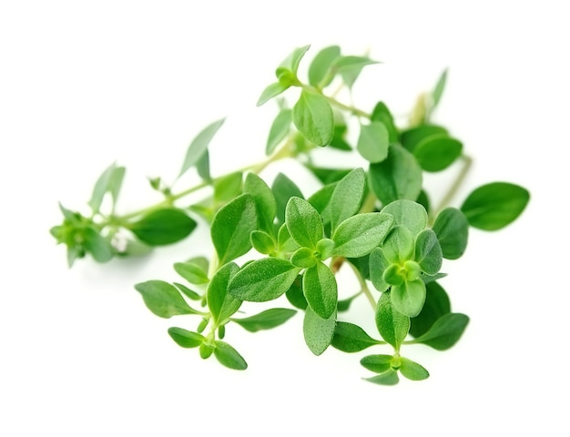Thyme fresh herb isolated on white