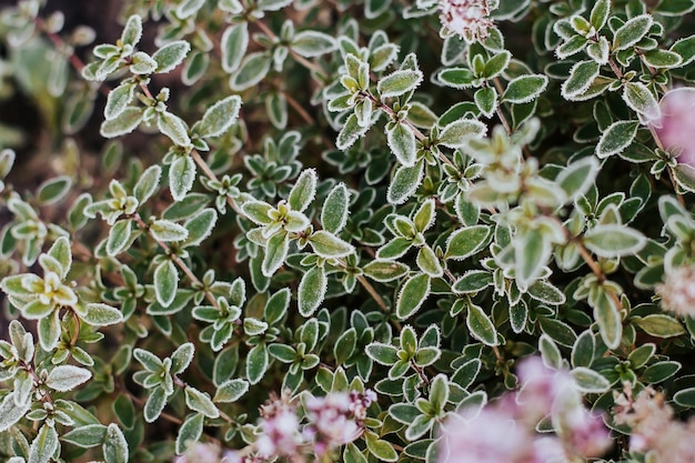 Thyme leaves covered with hoarfrost