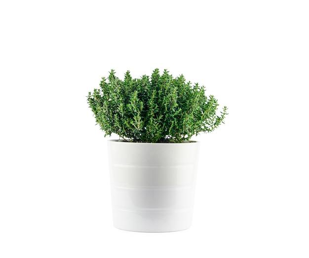 Thyme in a white pot, isolated. high quality photo