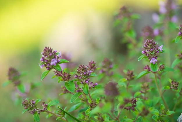 Thymus healing herb and condiment
