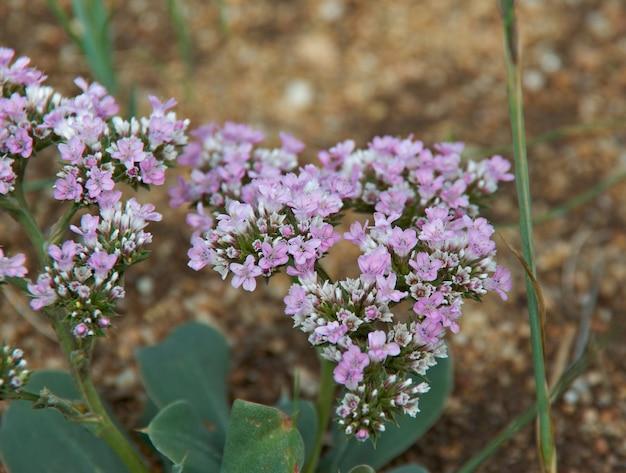 Thymus serpyllum, 러시아 바이칼 호수 근처의 야생 백리향