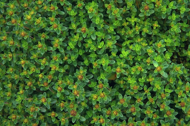 Тимьян (тимьян) в летнем саду. природа фон крупным планом