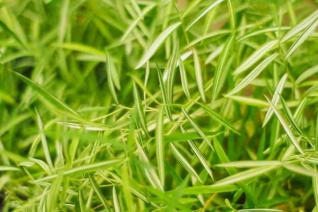 Thyrsostachyssiamensisギャンブル猫の竹。猫用ハーブ