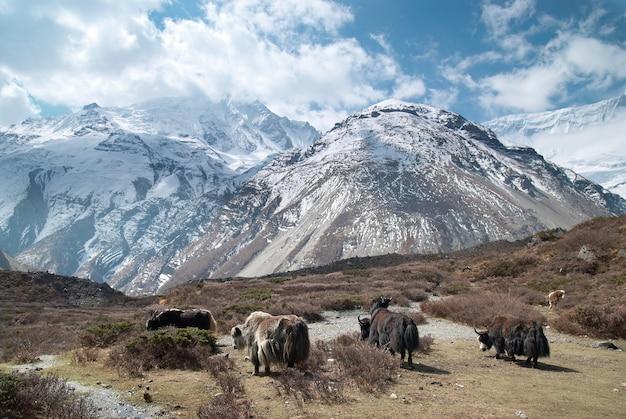 Тибетский пейзаж с яками и заснеженными горами.